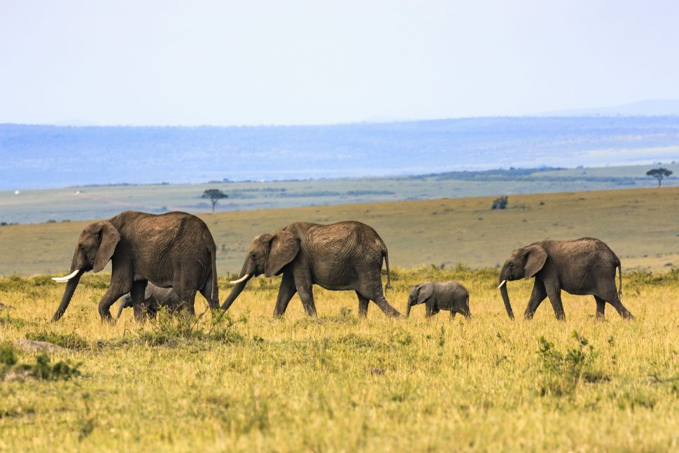 Herd of elephants in Tanzania