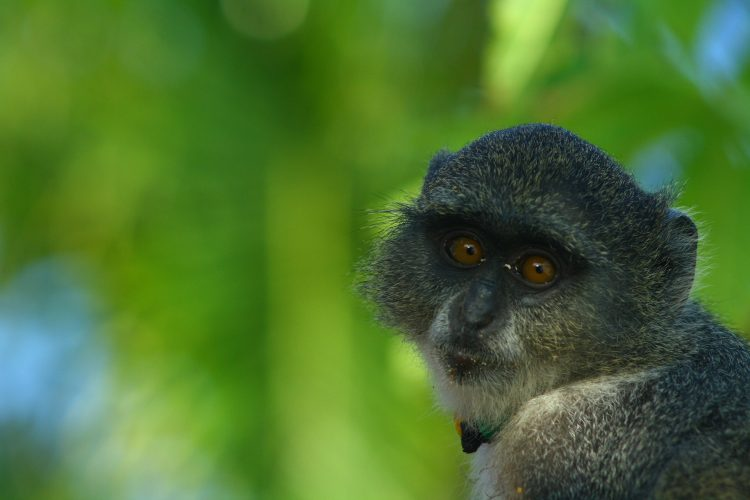 Monkey on Zanzibar